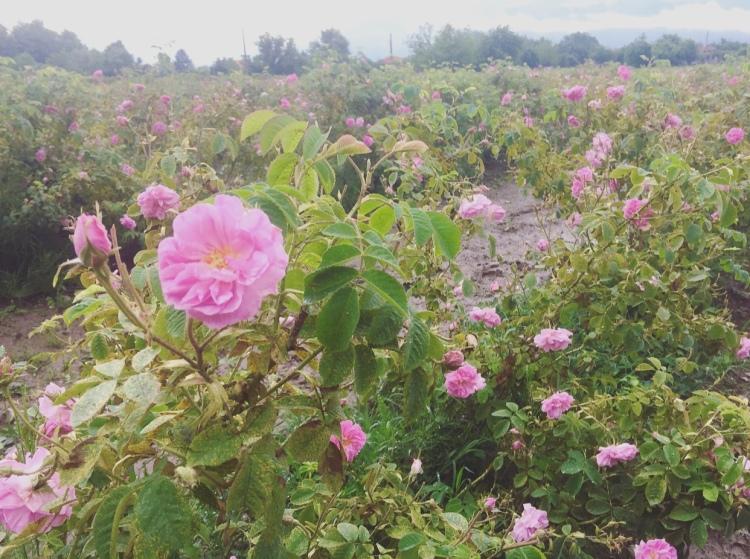 Rosa damascena, Distilleria Enio Bonchev, Bulgaria.